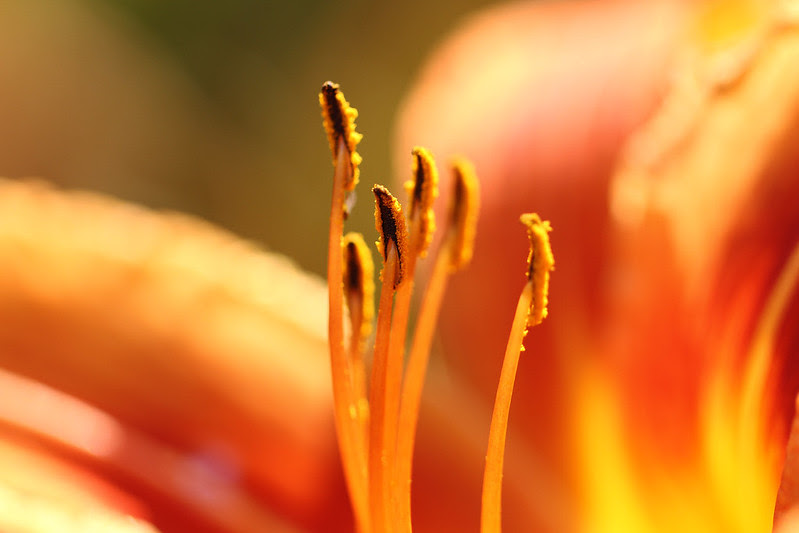 inside a tiger lily