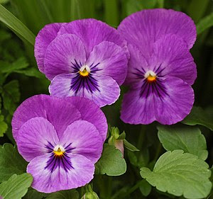 Picture of a purple {{MultiLink|Pansy}} ({{Bio...