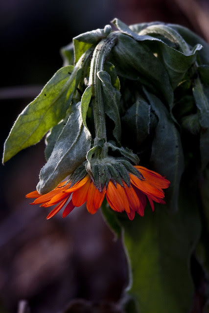 orangeheadhanging2