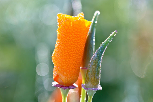 Morning Dew-y Poppies