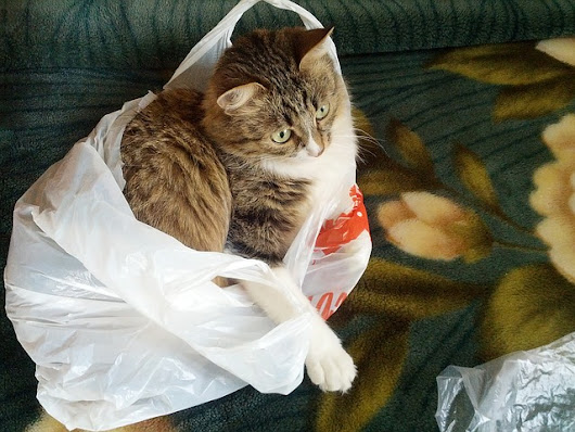 Why Are Some Cats Obsessed With Plastic Bags? - iHeartCats.com