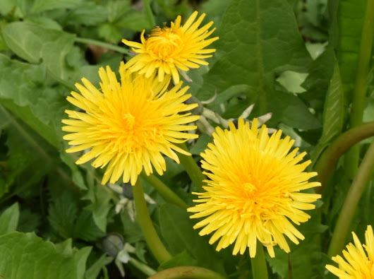 A <em>Taraxacum officinale</em> Grower Reveals Her Secrets