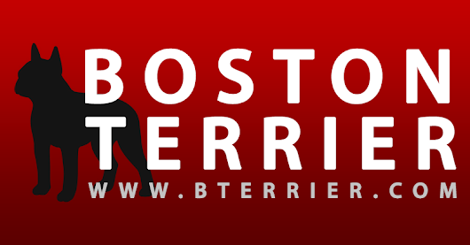Boston Terrier Dogs | Information, Photos, Videos and more!