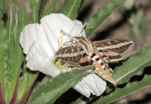 Video: Hawkmoth Pollination in the Desert (14:43)