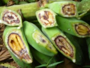 Buah pisang yang diserang penyakit layu pisang, tanaman di belakang rumah kami yang cuma beberapa pohon, bagaimana dengan tanaman petani ...