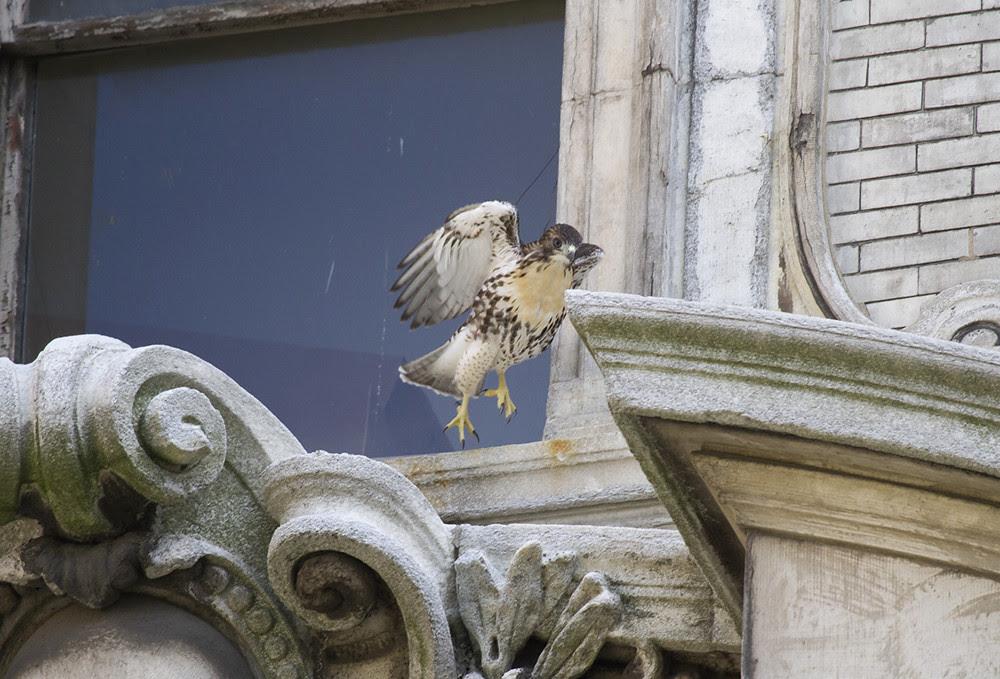 Hawk Time