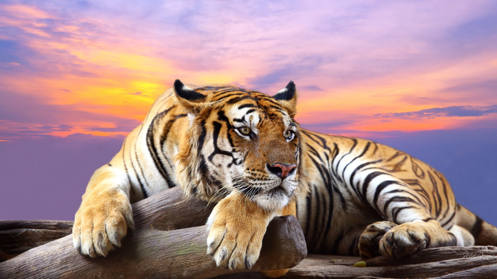 HD Tiger Wallpaper  HD Wallpaper Download