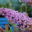 Plant of the week: Buddleia