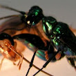 Absurd Creature of the Week: The Wasp That Enslaves Cockroaches With a Sting to the Brain - Wired Science