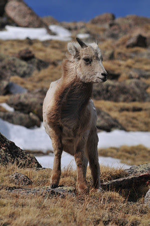 yearling bighorn on Mount Evans