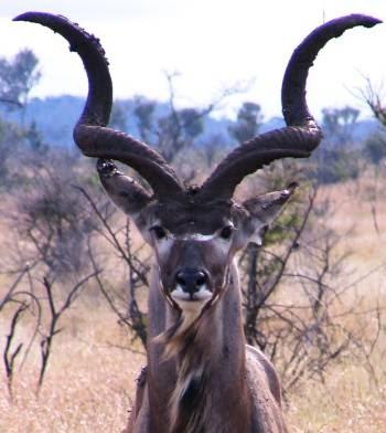 Animals World Wildlife Animals Of Kudu Deer Photo Posters