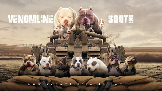 Top Pocket American Bullies | The 1st Official Branch of Venomline - Venomline South