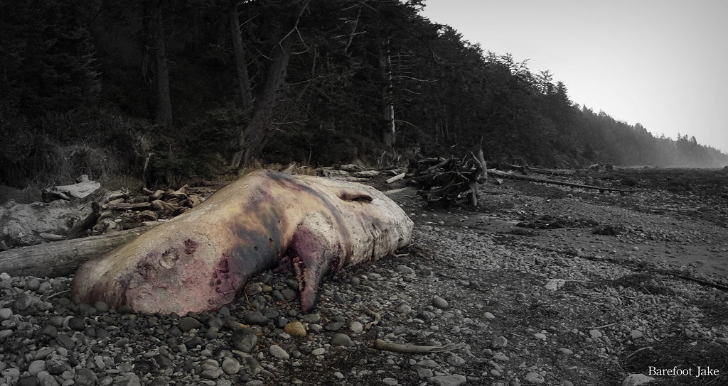 dead whale washington coast