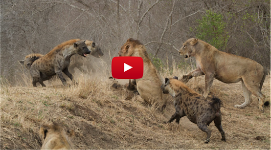 Mayhem Ensues as Lions and Hyenas Go to War Over a Buffalo Carcass (Video)