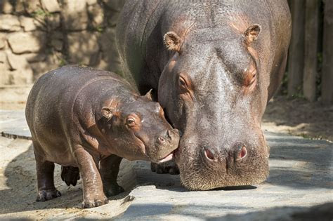 PICS: How do you get a baby hippo out of a hole? Carefully