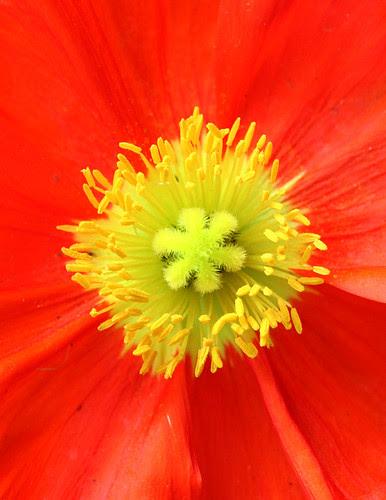 glorious poppy