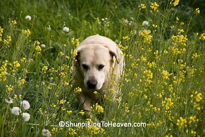 Yellow Labrador, Casey County, Kentucky