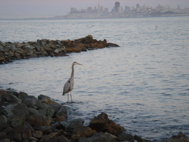 Blue Heron at The Spinnaker