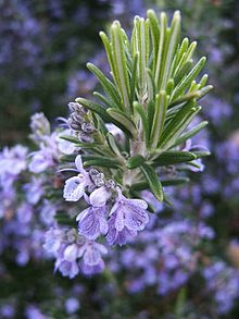 http://upload.wikimedia.org/wikipedia/commons/thumb/5/5f/Rosmarinus_officinalis133095382.jpg/220px-Rosmarinus_officinalis133095382.jpg