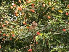Rambutan Tree (13)