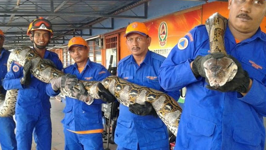 'Longest-ever' captured python dies in Malaysia - BBC News