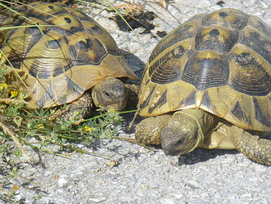 Turtles from Macedonia