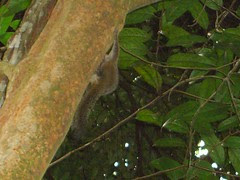 MacRitchie Squirrel