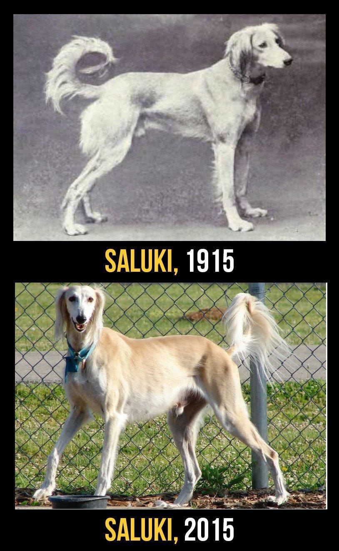 razas perro evolucion 11
