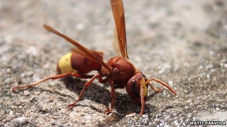 Oriental hornet (image: Matti Paavola)