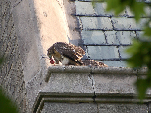 Red-Tail Fledglings Feed