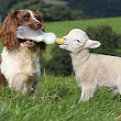 Meet the ultimate sheepdog! Springer Spaniel Jess rounds up orphaned lambs and feeds them from a bottle herself