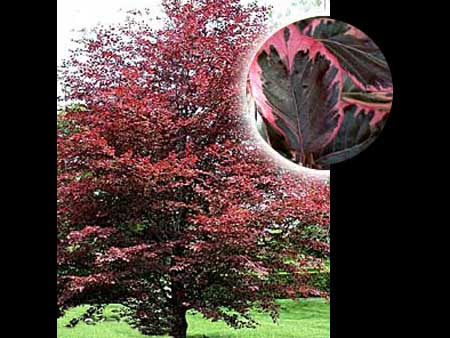 Ornamental Tree List Dammanns