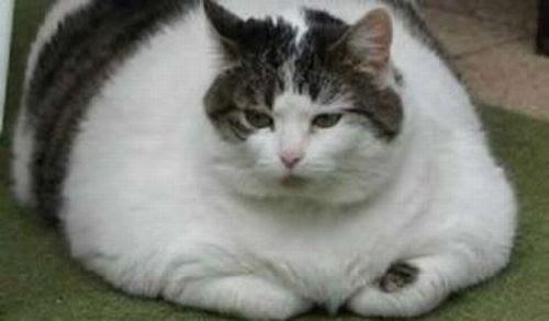 Παχύσαρκα κατοίκιδια ζωα