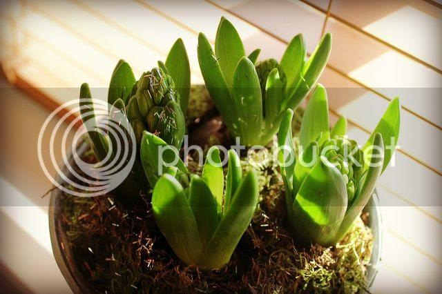 photo hyacinths_zps7af88068.jpg