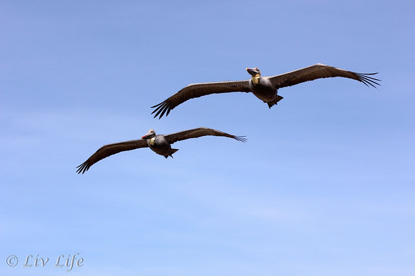 Pelicans in the sky