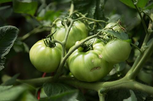 202: melancholy tomato