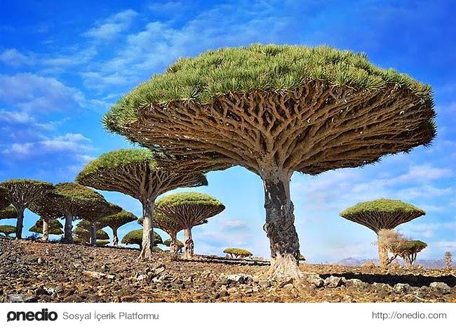 18. Yemen'de bulunan ''ejderha kanı ağacı''