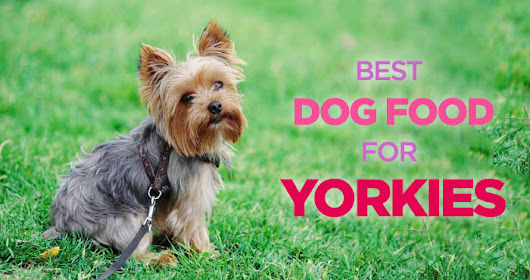 Best Dog Food for Yorkies: Small Stomach, Picky Appetite
