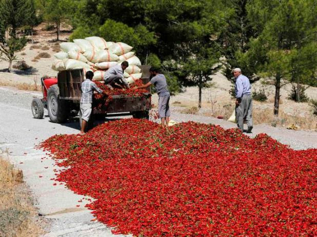 Farmers lay out hot peppers on a road to dry under the sun in Kilis