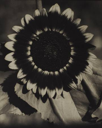 A Bee on a Sunflower, c. 1920