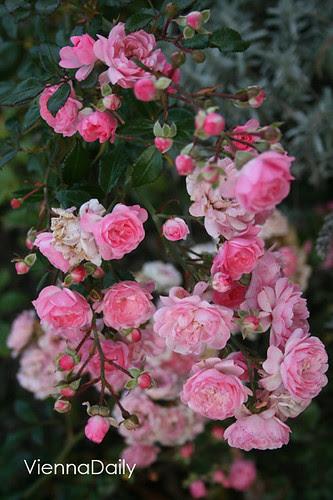 petit rose