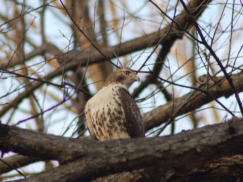 Juvenile Red-Tail by Central Park's Great Hill