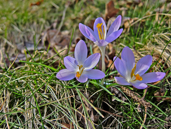 early spring color, crocus