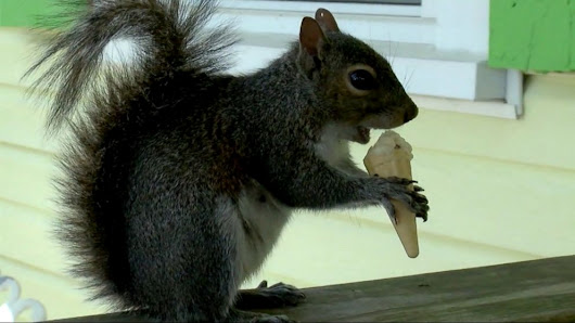 Squirrel served daily ice cream mini-cones at North Carolina shop - ABC News