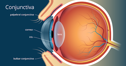 Conjunctiva of the Eye - Definition and Detailed Illustration