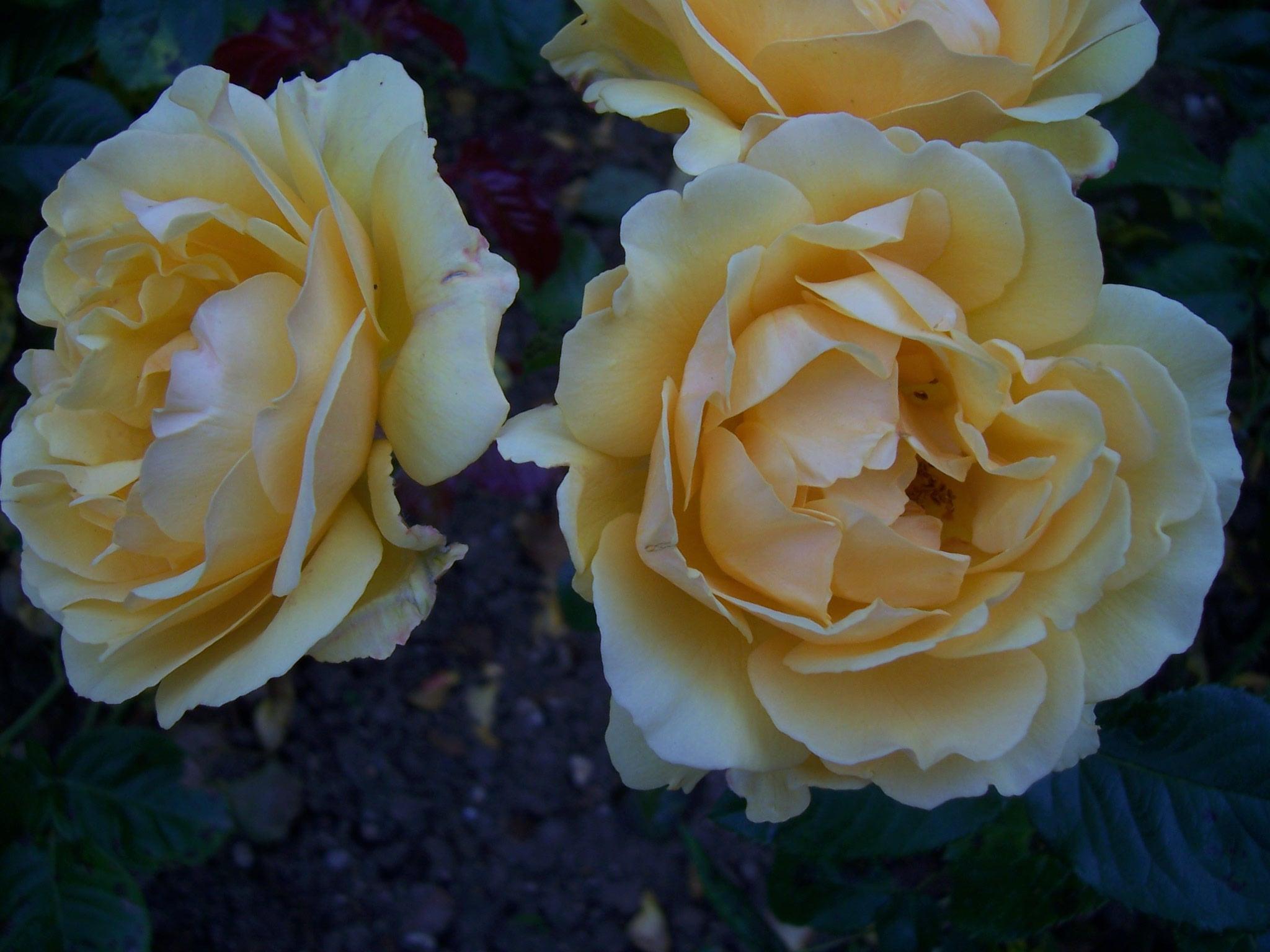 Photo de roses Amber Queen