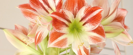 How To Get An Amaryllis To Flower Again - A Happy Home In Holland