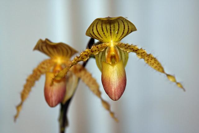 Orquídea Papiophedilum - Prime Child
