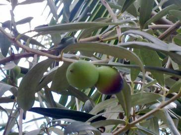 Descubren propiedades anticancerígenas en las hojas de olivo