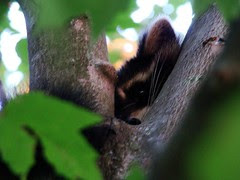 Raccoon in robins nest 2